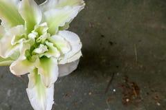 Brownii var del Lilium flor del viridulum-corte Imagen de archivo