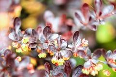 Brownish-burgundy petals of bush barberry Royalty Free Stock Photo