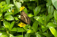 Brownish butterfly Stock Photo