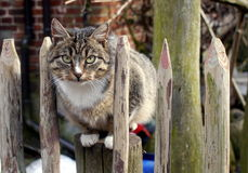 Brownish cat. Sitting on the fence Royalty Free Stock Photography