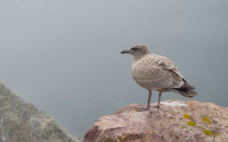 Brownish coloured juvenile, Western (Larus occidentalis) seagull standing atop of a rock,. Brownish coloured juvenile, Western (Larus occidentalis) seagull Stock Photos