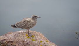 Brownish coloured juvenile, Western (Larus occidentalis) seagull standing atop of a rock, Stock Photos