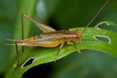 A brownish cricket on a blade of grass Stock Images