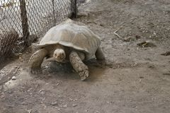 Tortoise on prowl in Karachi. Brownish giant tortoise on a slow prowl in its sandy enclosure in Karachi zoo Stock Photo