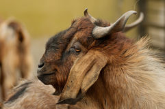 Brownish goat Stock Photos