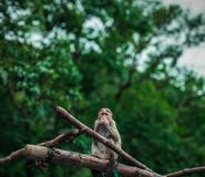 brownish monkey portrait while eating something stock images