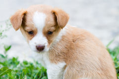 Brownish puppy with milk on its nose Stock Image