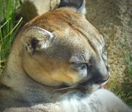 Brownish tan Mountain Lion relaxing in the sun. Beautiful reddish tan mountain lion bathing himself and relaxing in the California sun Stock Photography