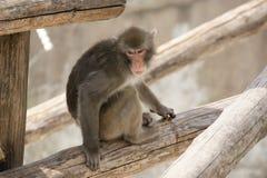 Brownjapanischer Macaque (Schneefallhammer) Lizenzfreie Stockfotografie