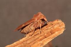 Brownline brighteye moth. Royalty Free Stock Photos