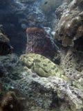 brownmarbled鲶科鱼fuscoguttatus石斑鱼 库存图片