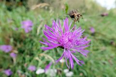 Brownray knapweed Centaurea flower in a meadow. herbal plant.  Royalty Free Stock Photography