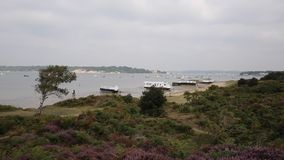 Brownsea Island Poole Harbour Dorset England UK with purple heather stock video footage