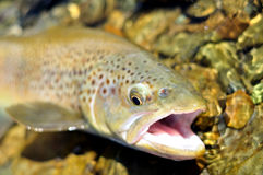 Browntrout royalty free stock photography