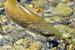 Browntrout Stock Image