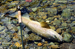 Browntrout Stock Images