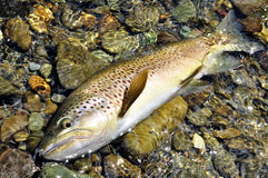Browntrout. New Zealand's Big Trout royalty free stock images