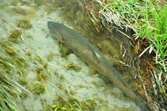 Browntrout. New Zealand's Big Trout royalty free stock photography