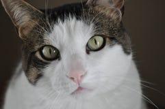 Brownweiße Tabby-Katze-Nahaufnahme Stockbild