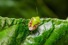 Brownwinged green bug Plautia crossota Royalty Free Stock Photography