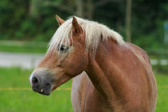 Browny. Brown horse in Forest bayern Royalty Free Stock Photos