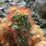 Browny Kaktus Pricky stockfotos