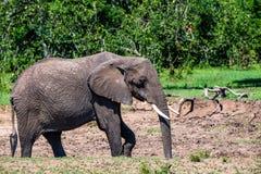 Browsing African elephant or Loxodonta cyclotis. In Maasai-Mara national park, Kenya Stock Photography