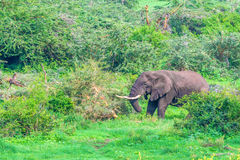 Browsing African elephant. In Ngorongoro crater forest, Tanzania Stock Image