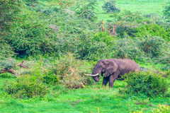 Browsing African elephant. In Ngorongoro crater forest, Tanzania Royalty Free Stock Photos