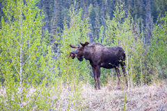 Browsing Bull Moose Royalty Free Stock Photo