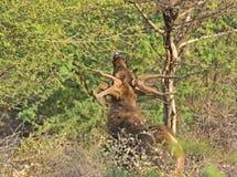 Browsing deer Royalty Free Stock Photo