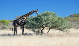 Browsing Giraffe royalty free stock photography