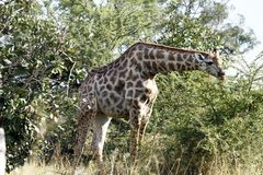 Browsing Giraffe Royalty Free Stock Photography