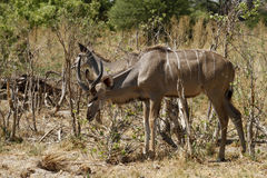Browsing Greater Kudu Herd Stock Image