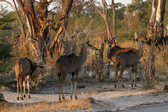 A browsing herd of Kudu Royalty Free Stock Photo