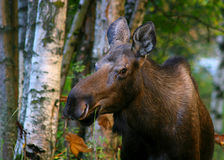 Browsing moose in Alaska Royalty Free Stock Photography