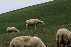 Browsing sheep in the countryside royalty free stock photos