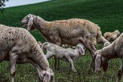 Sheep and eating lamb stock image