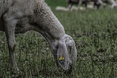 Browsing sheep in the countryside royalty free stock image