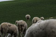 Browsing sheep in the countryside stock photography