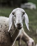 Browsing sheep in the countryside stock images