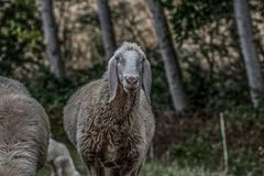 Browsing sheep in the countryside stock image