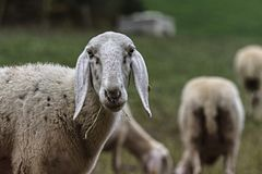 Browsing sheep in the countryside royalty free stock images