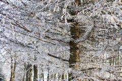 brqnches di inverno Fotografia Stock