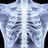 bröstkorg Arkivbild