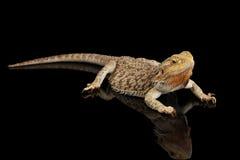 Bärtiges Dragon Llizard Lying auf Spiegel, lokalisierter schwarzer Hintergrund Stockfoto