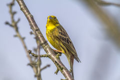 Bruant jaune (citrinella d'Emberiza) Photos stock