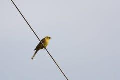 Bruant jaune (citrinella d'Emberiza) Images libres de droits