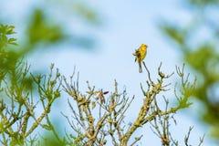 Bruant jaune dans un arbre Images libres de droits