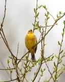 Bruant jaune sur la branche Image stock